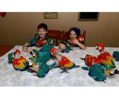 Congo African Grey parrots ,  Hyacinth Macaws parrots,  Blue and Gold macaw