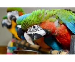 Top Breeders Of African grey ,macaws ,parrots and cockatoos.