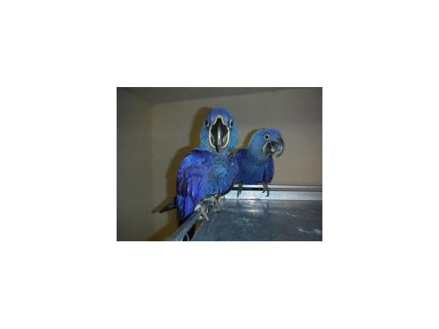 Hyacinth Macaws Breeder Pair for sale.