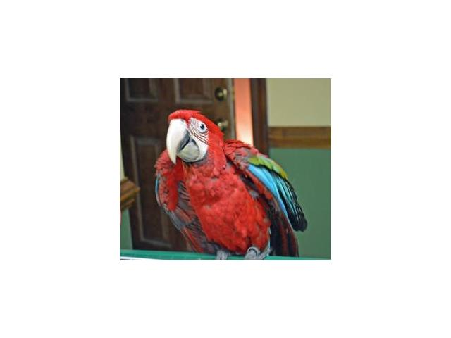 Greenwing Macaw for sale low price
