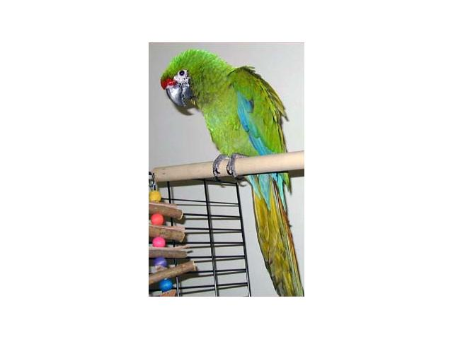 Military Macaw Baby for sale
