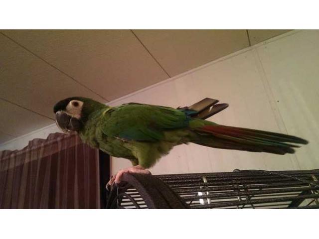 Server Macaw For Sale...http://macawsbirdloversantuary.webs.com/