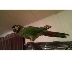 Server Macaw For Sale...http://macawsbirdloversantuary.webs.com/