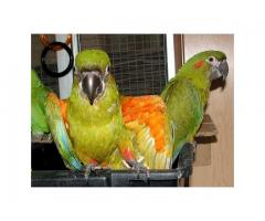 Ruby and red front Macaw Pet Parrots for sale