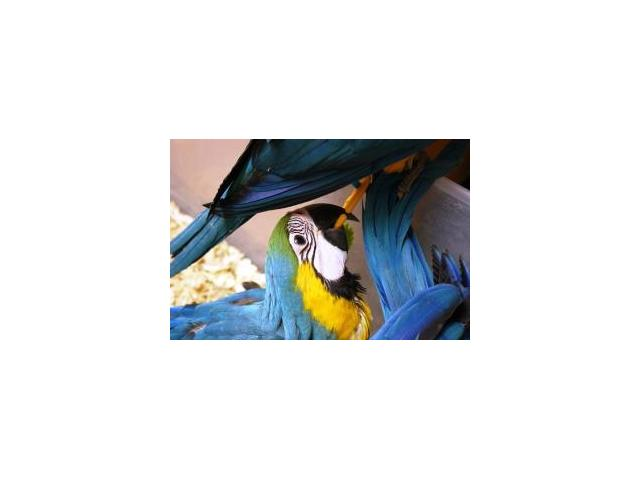 Super Tamed Blue and gold Macaw Babies.