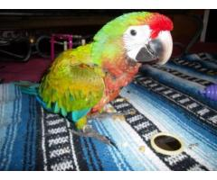 Harlequin Macaw Baby for sale