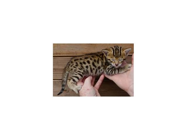 Beautiful Savannah Kittens Available.