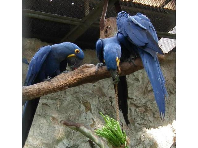 Well tamed hyacinth macaw parrots available for free adoption