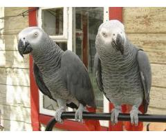 Complete Healthy Parrots and Fertile Parrot Eggs For Sale