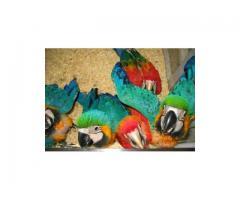 Falcons,macaw parrots, cockatoos, Grey parrots, Amazons and fertile eggs for sale