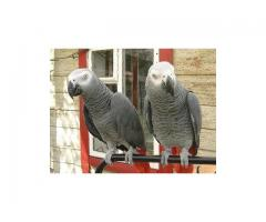 Hand Raised African Grey Parrots Available