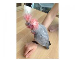 FULLY TAME PARROTS, EXOTIC ANIMALS AND EGGS FOR SALE