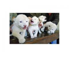 Cheetah Cubs,jaguar Cubs,tiger Cubs And Lion Cubs Now Available whatsapp : +12486625079