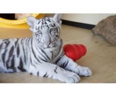Adorable Cheetah Cubs , Lion Cubs , Tiger Cubs For Sale whatsapp : +12486625079