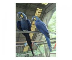 Medically fit weaned and  Tame parrots with medical guarantee for sale  whatsapp : +12486625079