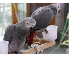 Parrots, cockatoos, amazons, conures, cockatiels available whatsapp : +12486625079