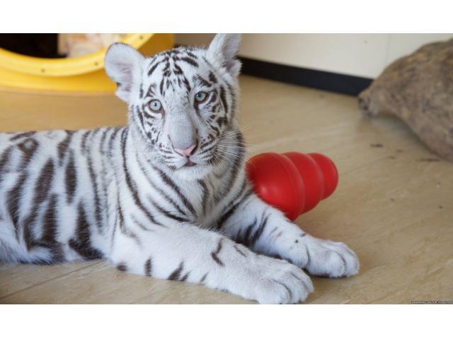 Cheetah Cubs & Lion Cubs & Tiger Cubs Available whatsapp : +12486625079